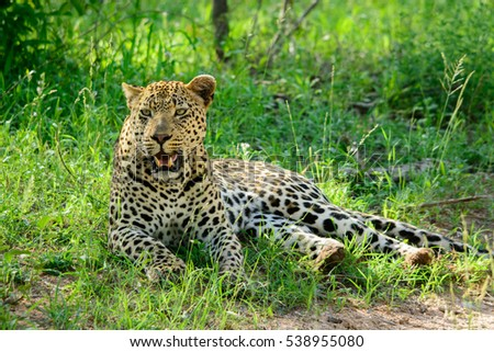 Leopard lying in summer grass, Sabi Sand Game Reserve, South Africa #538955080