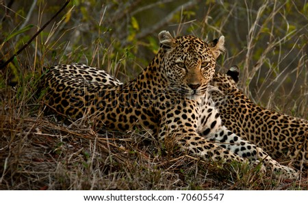 Leopard lying in the grass