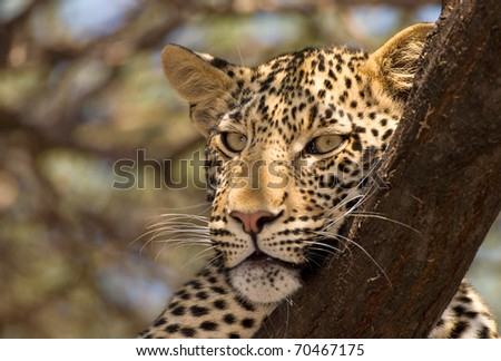 Leopard lying on branch in dappled shade