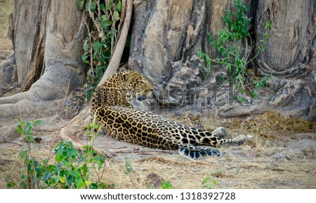 Leopard lying on ground near baobab tree after eating a big meal at Ruaha National Park in Tanzania near Iringa #1318392728