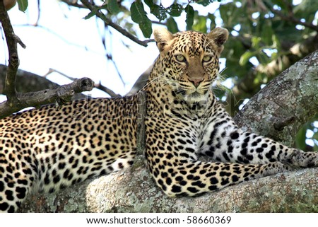 http://image.shutterstock.com/display_pic_with_logo/80650/80650,1281064198,72/stock-photo-leopard-maasai-mara-national-park-in-kenya-africa-58660369.jpg