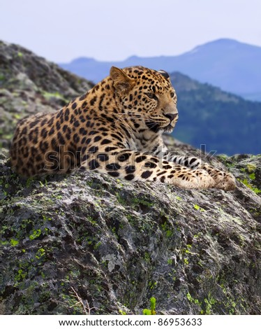 leopard  on stones at wildness area - stock photo