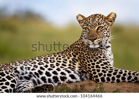 Leopard on termite mound, Mother: Olive, Masai Mara, Kenya