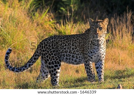 Leopard on the african grasslands