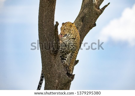 Leopard on the tree #1379295380