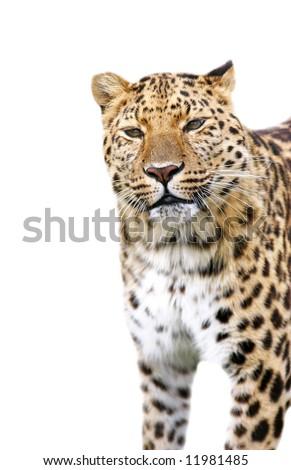 Leopard on white background
