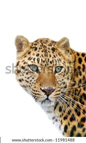 Leopard on white background