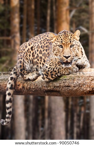 leopard on wood against pine forest - stock photo