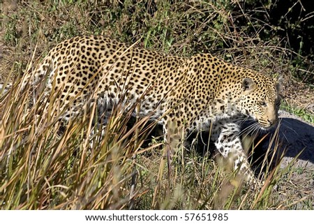 Leopard (Panthera pardus) in the Okavango Delta, Botswana - stock photo