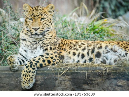 Leopard - Panthera pardus is resting and looking #193763639