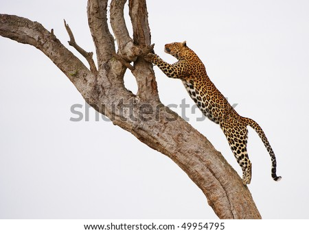 Leopard (Panthera pardus) jumping on the tree in nature reserve in South Africa