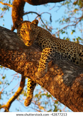 Leopard (Panthera pardus) lying relaxed on the tree in nature reserve in South Africa