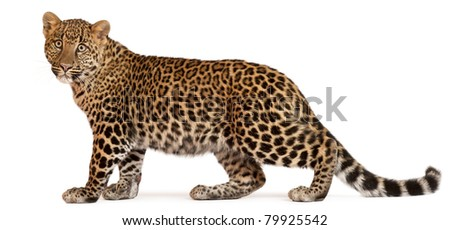 Leopard, Panthera pardus, 6 months old, standing in front of white background - stock photo