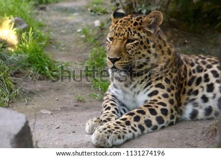 Leopard Panthera pardus resting #1131274196