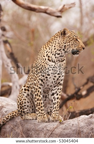 Leopard (Panthera pardus) sitting alert on the tree in nature reserve in South Africa