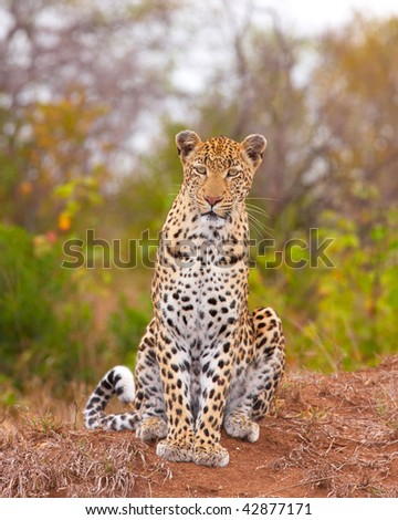 Leopard (Panthera pardus) sitting in savannah in nature reserve in South Africa