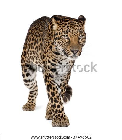 Leopard, Panthera pardus, walking against white background, studio shot #37496602