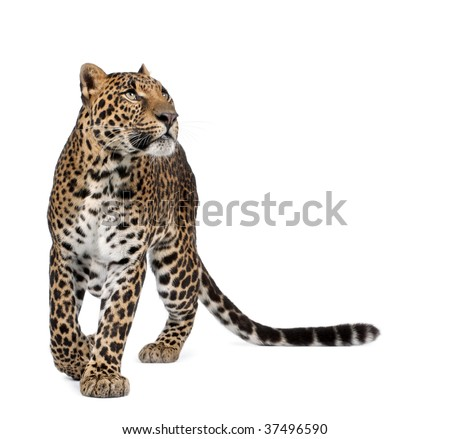 Leopard, Panthera pardus, walking and looking up against white background, studio shot