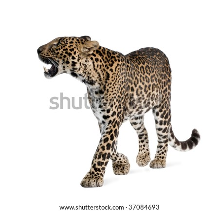 Leopard, Panthera pardus, walking and snarling against white background, studio shot