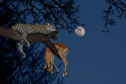 Leopard (Panthera pardus) with his prey antelope on a tree in Serengeti National Park on night sky background with the moon. Africa