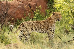 Leopard, Pilanesberg Game Reserve, North West Province, South Africa. Seen along the Mankwe Way Road between the Kwalata and Kubu Drive Road turnoffs. Taken on Thursday, 31 December 2020 at 15:48.