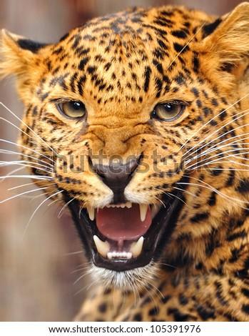Leopard portrait #105391976
