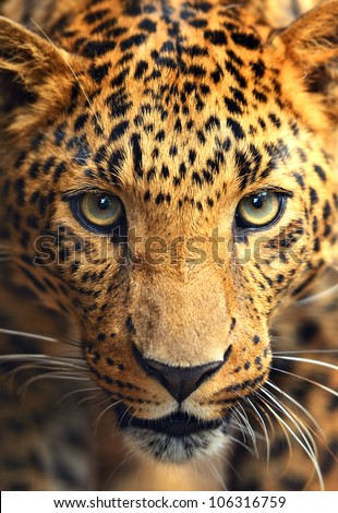Leopard portrait #106316759