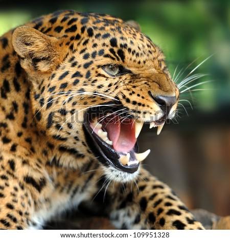 stock photo leopard portrait 109951328 - Каталог — Фотообои «Животные»
