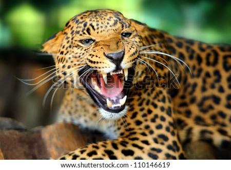 Shutterstock Leopard portrait