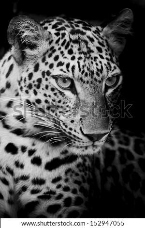 Leopard portrait #152947055