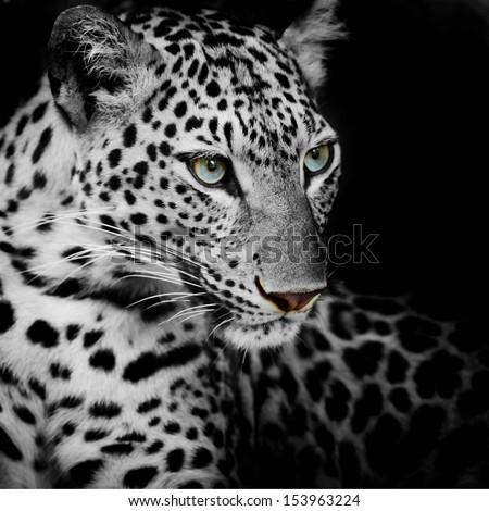stock photo leopard portrait 153963224 - Каталог — Фотообои «Животные»