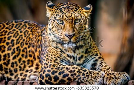 Leopard portrait #635825570