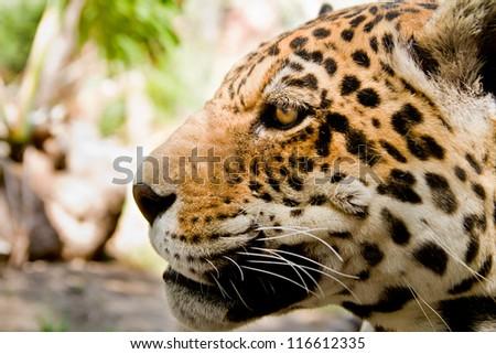 Leopard portrait close up focus on the eye