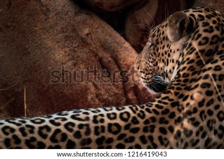 Leopard profile picture under a tree