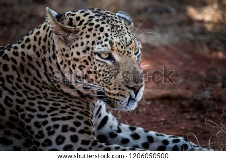 Leopard profile picture uplose on safari in Madikwe game reserve South Africa