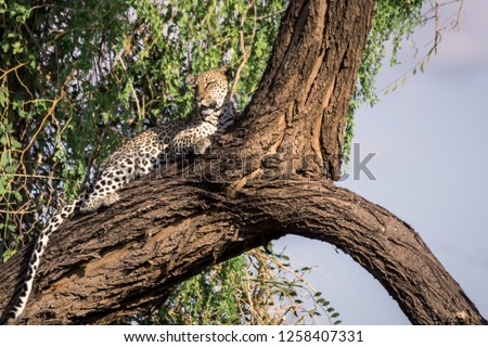 Leopard relaxing in big tree in Samburu/Kenya/Africa. Wildlife, africa, leopard in tree, safari concepts. #1258407331