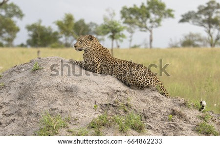 Leopard Relaxing on Ant-hill #664862233