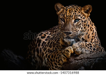 Photo of  Leopard resting on a log against a black background