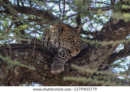 leopard resting on a tree in the Serengeti #1279403779