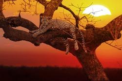 leopard resting on tree at sunset, Kruger National Park, South Africa