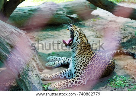 Leopard Roaring in the Forest #740882779