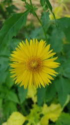 Leopard's Bane (Doronicum) is a genus of flowering plants in the sunflower family. Close-up of Doronicum orientale or leopard's bane with bright yellow flowers. Decorative flowering plant