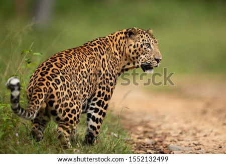 Leopard scent marking at Kabini Forest Reserve, India Zdjęcia stock ©