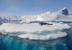 Leopard seal lying on the blue iceberg with snow, with rocky mountain in the background and blue sky, Antarctic Peninsula, Antarctica