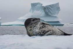 Leopard seal on an ice flow