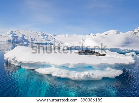 Leopard seal resting on ice floe, looking at the photographer, blue sky, with icebergs in background, cloudy day, Antarctic peninsula