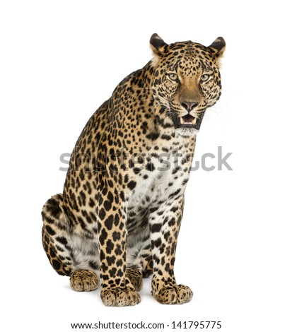 Leopard sitting, roaring, Panthera pardus, isolated on white #141795775