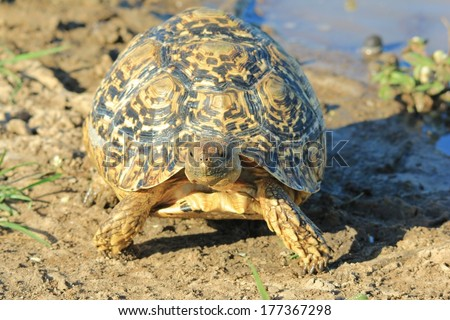 Leopard-skinned Tortoise - Wildlife Background from Africa - Nature\'s Iconic Slow Shell of Color