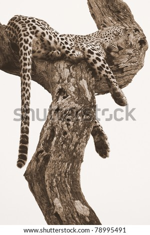 Leopard sleeping in tree - stock photo