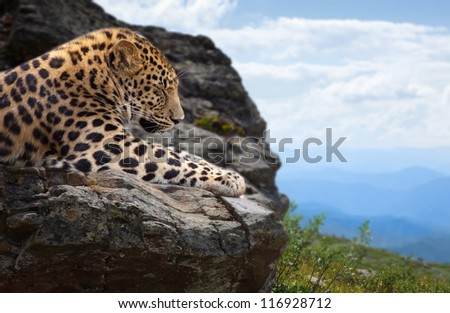leopard sleeping on stones at wildness area